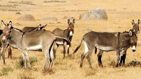 Donkeys in Africa (Courtesy photo for education only)