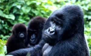 Gorilla gorilla beringei Mountain gorilla Family at play Virunga National Park, Democratic Republic of Congo (Courtesy photo for education only / credit wwf.panda.org)